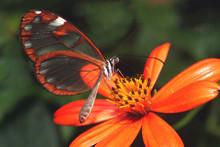 Papillon Costa Rica