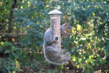 Squirrel Hanging From Birdfeeder