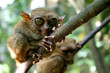 philippine tarsier of bohol