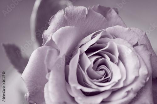 canvas print motiv - g.wdowiarz : rose