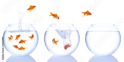 Obraz na plátně goldfish splash