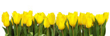 Fototapeta Tulips - line of yellow tulips