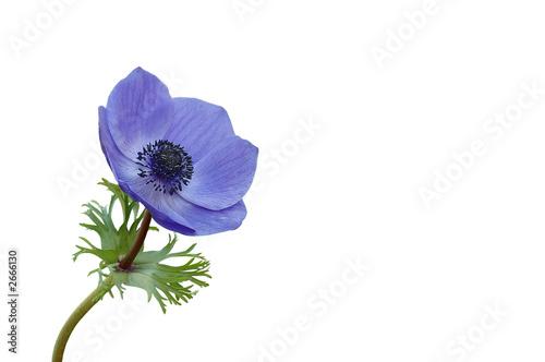 Carta da parati blaue anemone