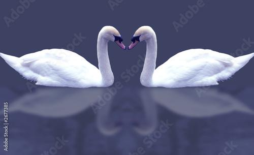 Poster Cygne swans