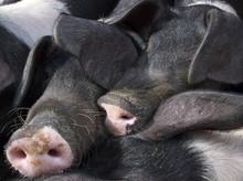 Saddleback Piglet Snouts