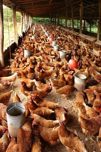 Photo produccion de huevo de gallina