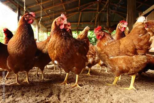 Photo sur Aluminium Poules gallina 2