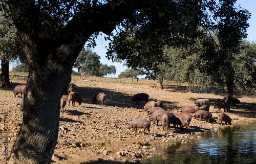 Foto  cerdos ibéricos