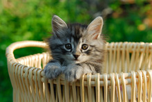 Kitten In Woven Basket