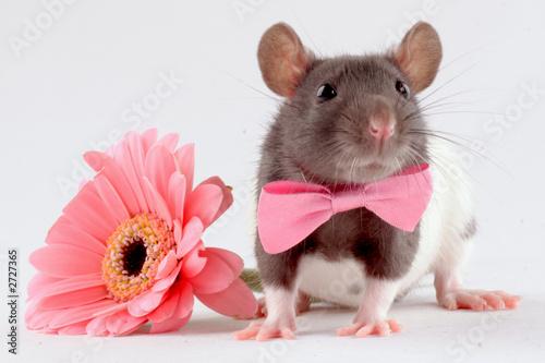 rat near a flower Fototapeta