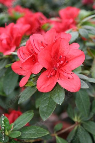 Papiers peints Azalea azalea rhododendron