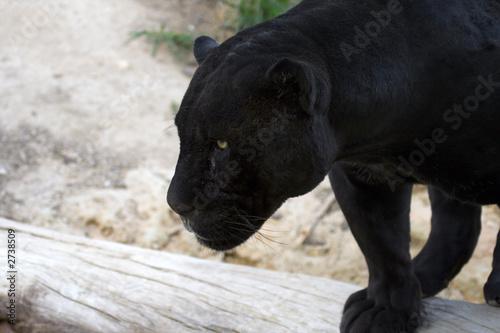 Foto auf Gartenposter Panther jaguar negro