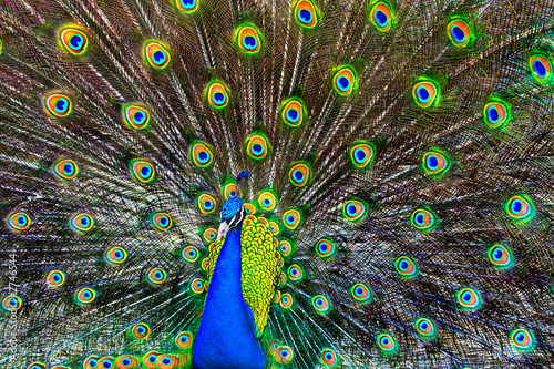 Deurstickers Pauw blue peacock