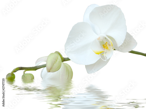 Poster Orchidee white orchid