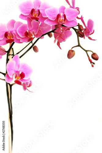 Doppelrollo mit Motiv - pink orchid (von MARIBELL)