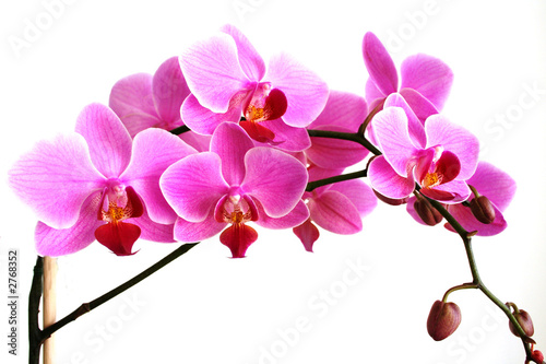 Staande foto Orchidee pink orchid