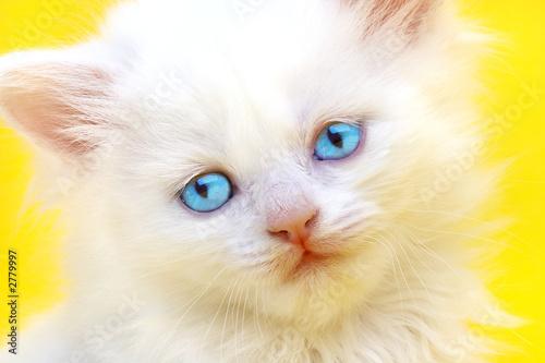 Foto auf Leinwand Katze white kitten with blue eyes.