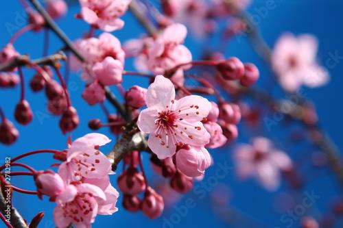 Tuinposter Kersenbloesem cherry blossom