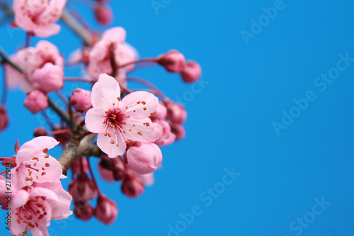 Stickers pour portes Fleur de cerisier cherry blossom