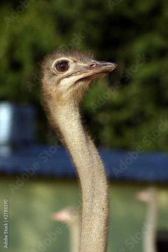 Staande foto Struisvogel ostriches