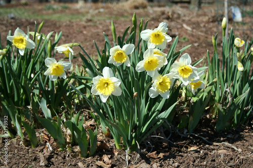 Fototapety, obrazy: daffodils