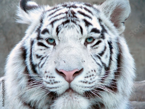 albino tiger full face