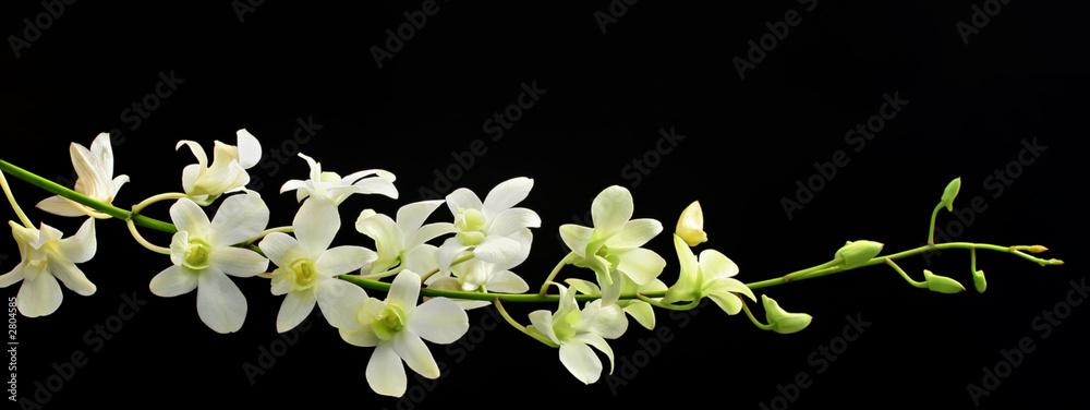 Fototapety, obrazy: orchid spray on black