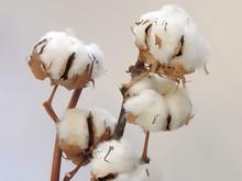 Cottons Bush Twigs
