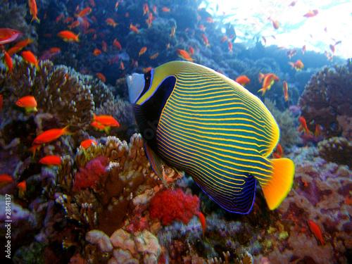 Foto auf AluDibond Unterwasser emperor angelfish