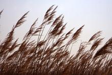 Reeds In Springtime