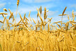 Leinwandbild Motiv grain field