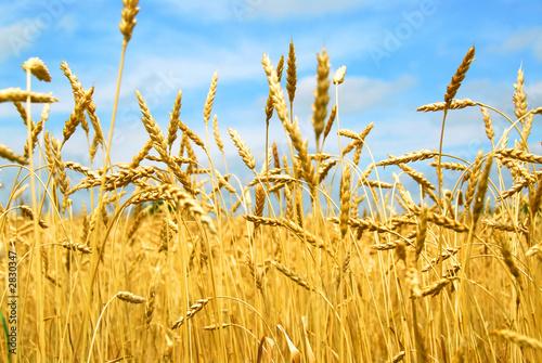 Doppelrollo mit Motiv - grain field