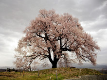 Stormy Blossoms