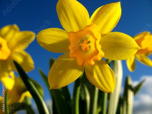 Papiers peints Narcisse narzissen 2