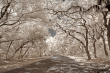 Infrared Oak Trees With Spanis...