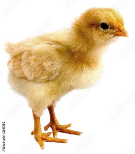 Slika na platnu chick