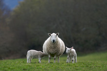 Lambs Suckling Ewe