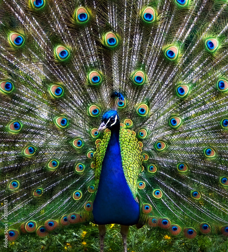 Foto op Plexiglas Pauw the peacock