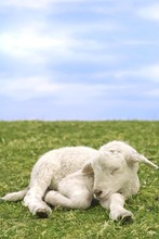 Very Cute Lamb In The Grass