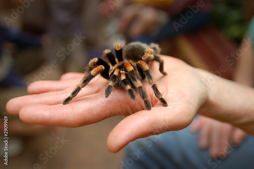 Photo tarantula
