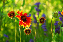 Indain Blanket Flowers