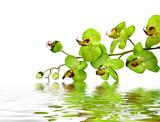 Im Grün der Königin der Orchideen