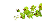 isolated green orchid