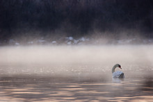 Swan Swimming Into The Fog
