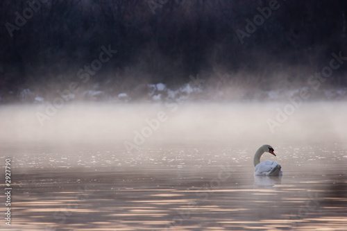 Poster Cygne swan swimming into the fog