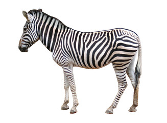 isolated zebra
