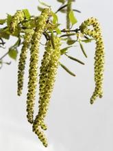 Birch-tree Catkins