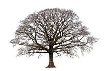 The Oak In Winter