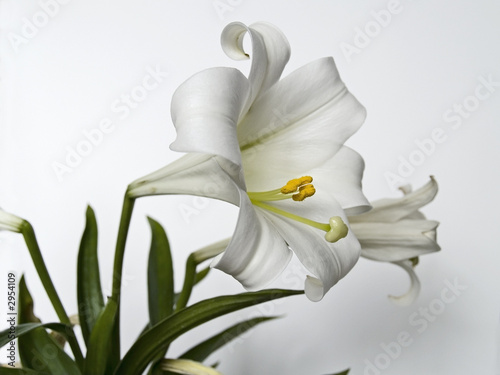 Photo  easter lilly study