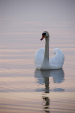 Swan On The Sunset